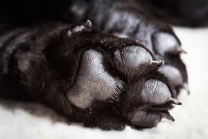 Labrador paws