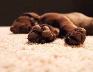 Labrador puppy paws
